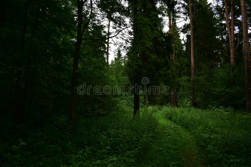 Coniferous forest shady landscape road fascinates with its beauty. Coniferous forest is a natural area consisting of evergreen plants stock photography
