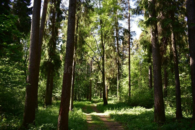 Coniferous forest Sunny day green grass around the trees going into the thicket of the forest. In the summer time in the forest is a real grace royalty free stock photo
