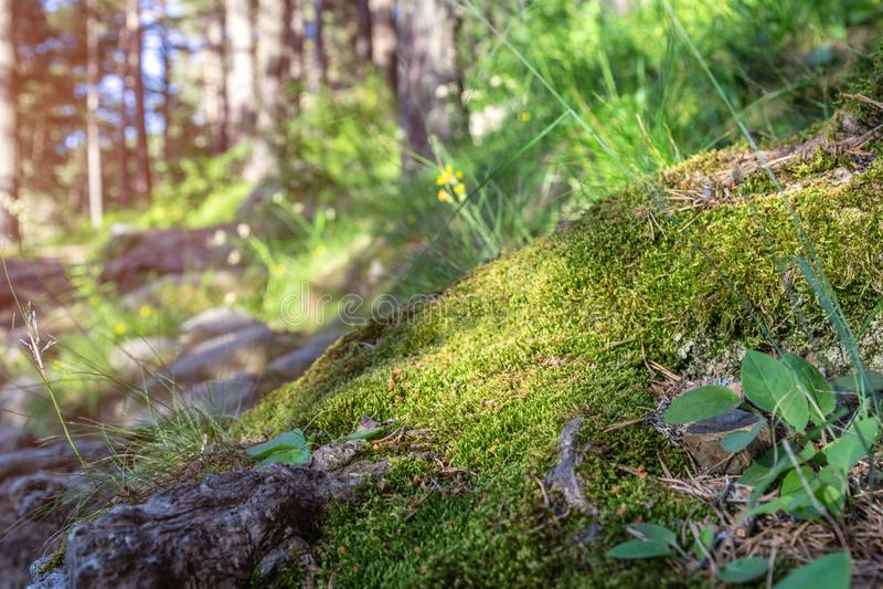 Coniferous Forest tree Background. Wild woods landscape. stock photos