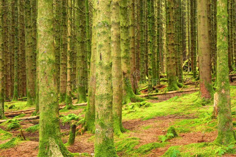 Coniferous forest, United Kingdom, England stock photo