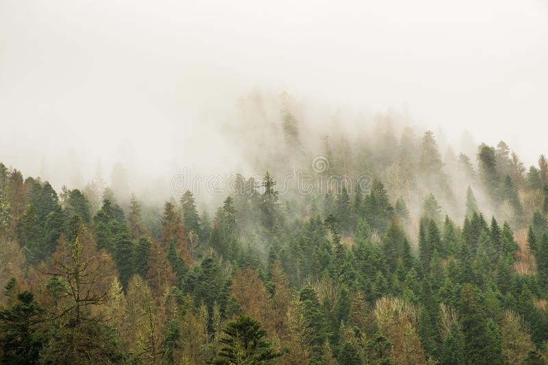 Coniferous green trees in the fog, clouds in the mountains royalty free stock photography