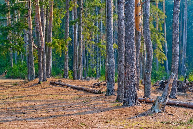 Coniferous pine forest with tall trees royalty free stock photo