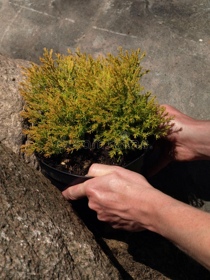 Coniferous shrub stock photo