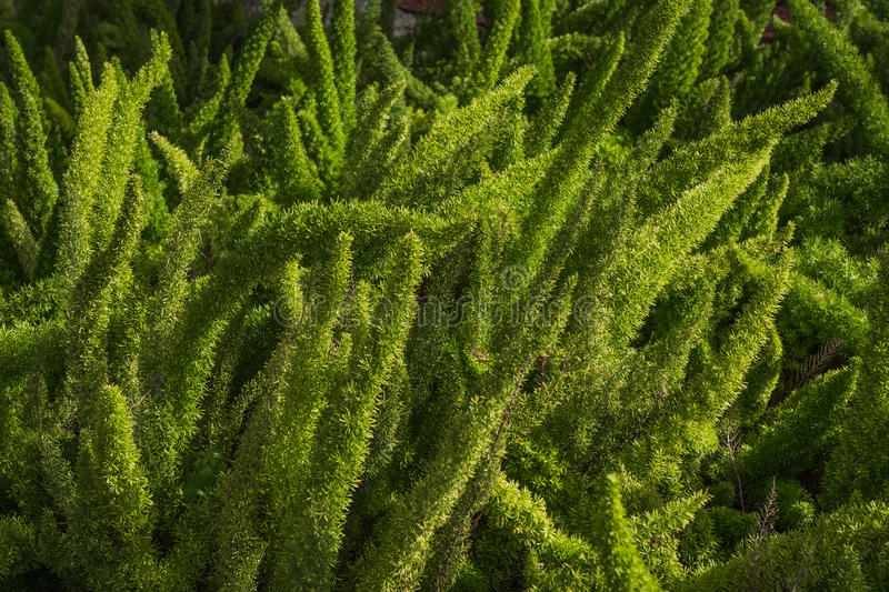 Coniferous Shrub. Green stems of a coniferous shrub in a city park royalty free stock images