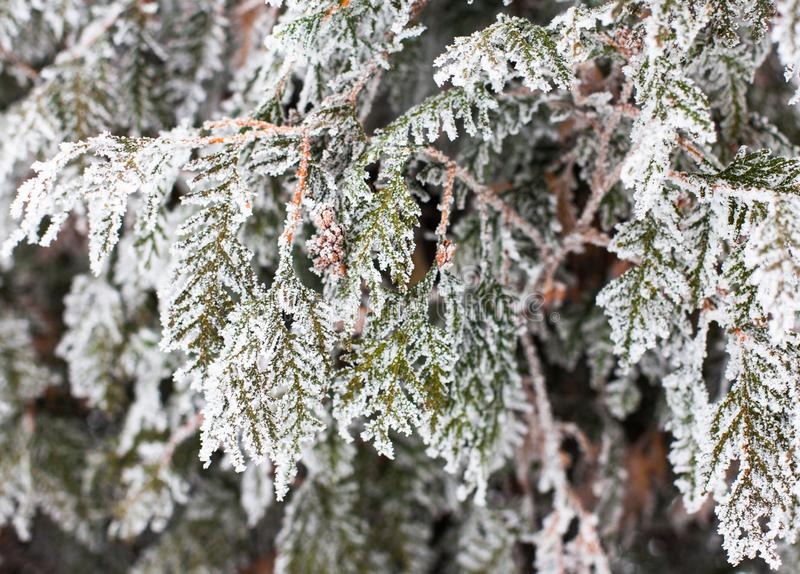 Coniferous branches and cones covered with hoarfrost. Coniferous Thuja branches and cones covered with hoarfrost. Close up royalty free stock photography