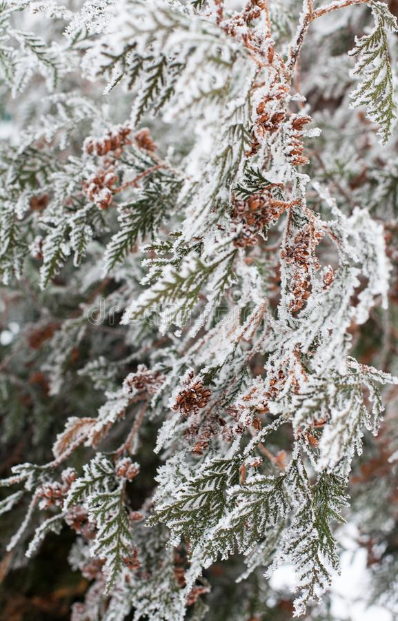 Coniferous branches and cones covered with hoarfrost. Coniferous Thuja branches and cones covered with hoarfrost. Close up stock photos