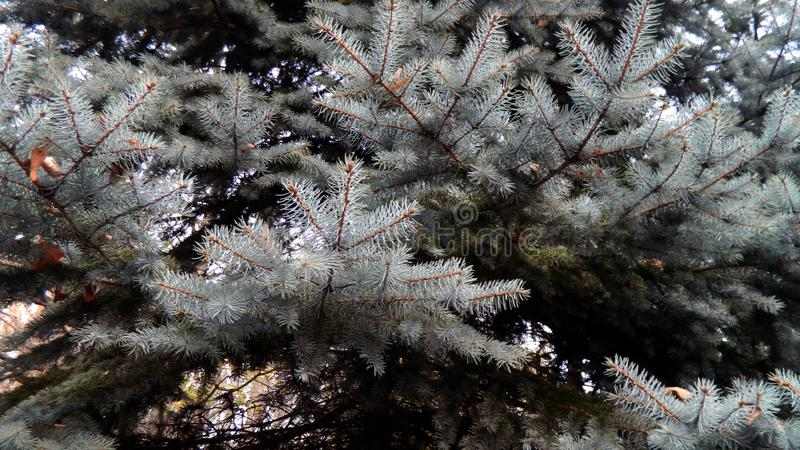 Coniferous tree branches, pine closeup royalty free stock images