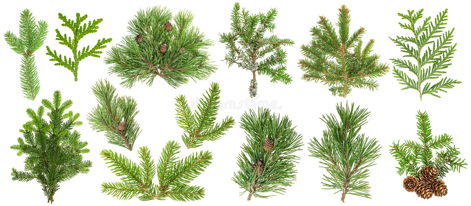 Coniferous tree branches Spruce pine thuja fir cone set stock photos
