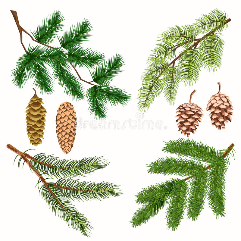Coniferous Tree Branches with Strobiles on White vector illustration