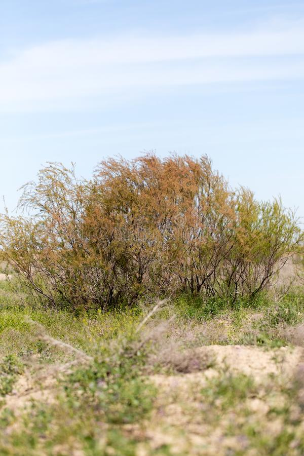Coniferous tree in the desert stock image