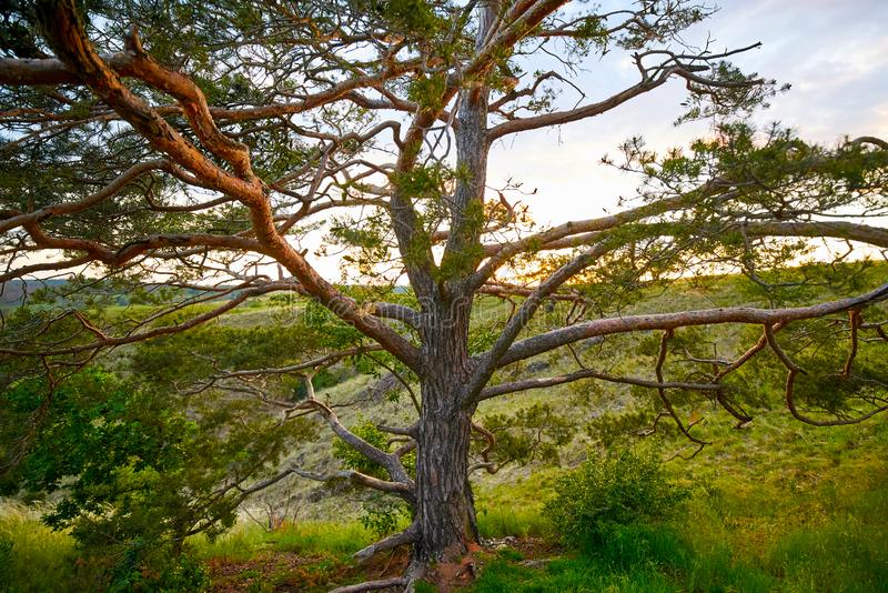 Coniferous tree in national park at sunset stock photos