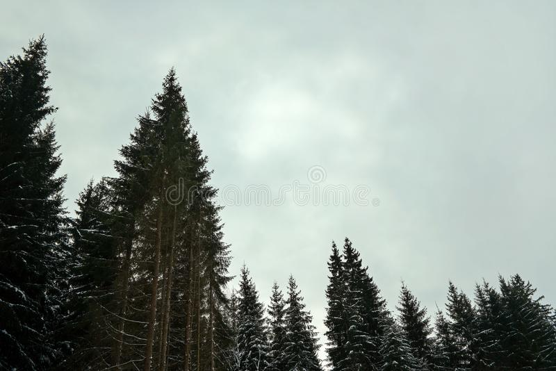 Coniferous tree tops with little snow, against gray overcast sky space for text, typical bleak winter day in forest.  royalty free stock image