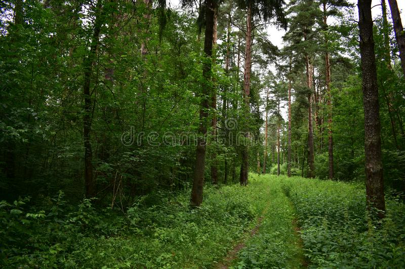 Coniferous trees along the road, environment, evergreen leaves outdoor Park stock photos