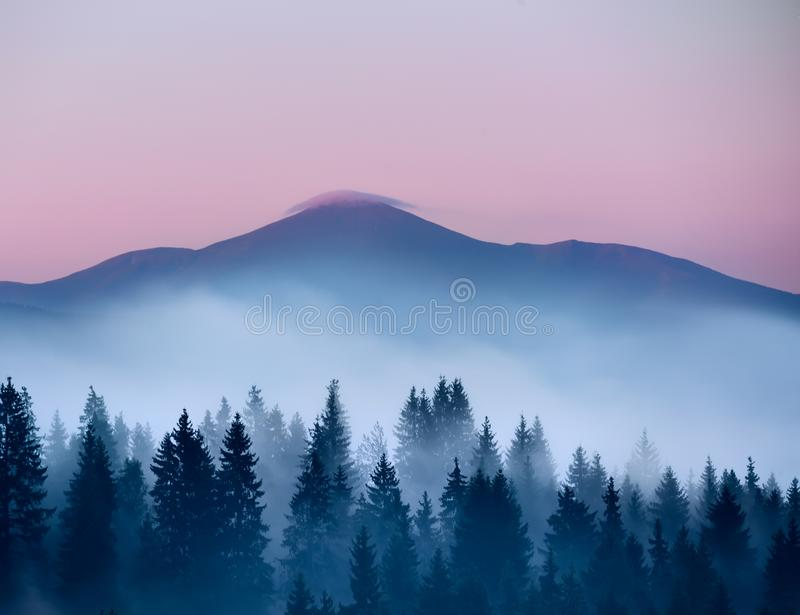 Coniferous trees in the fog  and the top of the mountain with a delicate pink cloud over the top . stock image