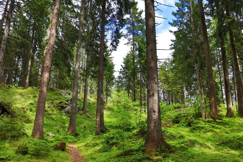 Coniferous trees in a forest in the mountains royalty free stock images