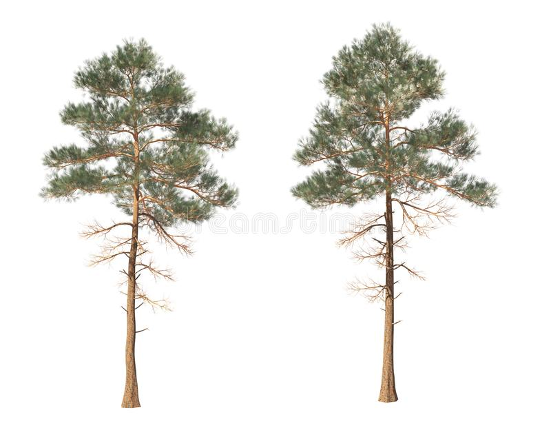 Coniferous trees on an isolated background royalty free stock photography