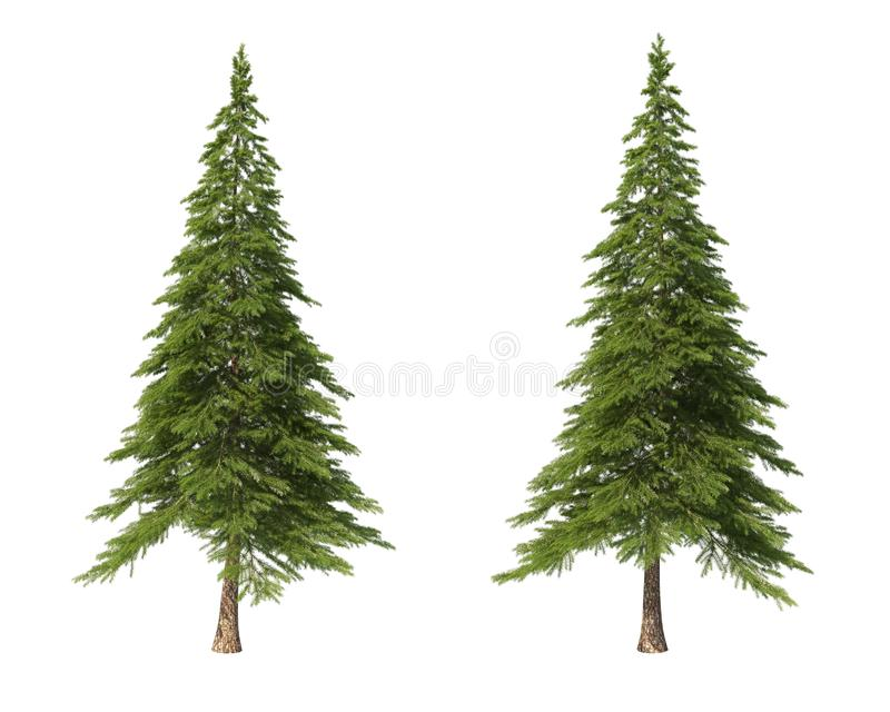 Coniferous trees on an isolated background. Spruce royalty free stock images