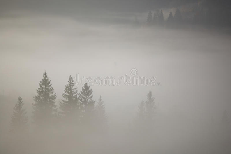 Coniferous trees in a thick fog royalty free stock images