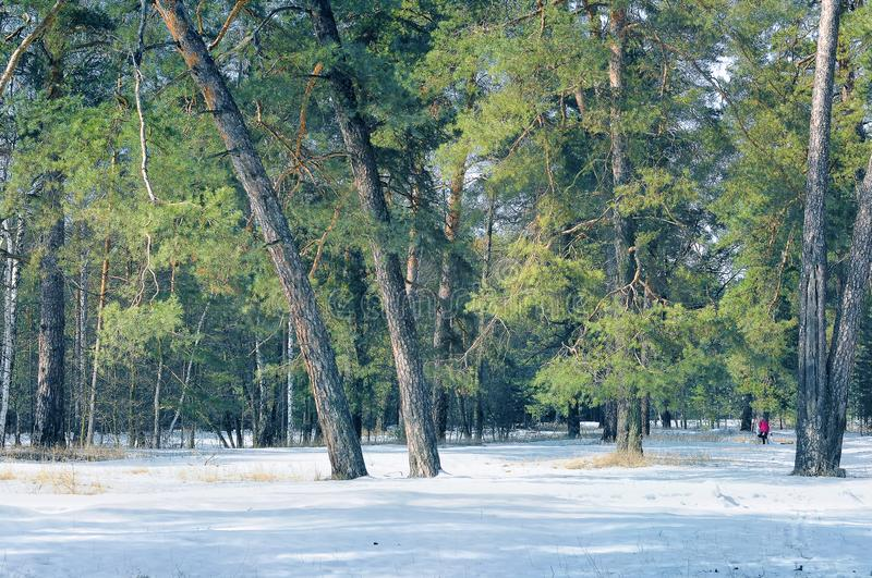 Coniferous winter forest royalty free stock photography