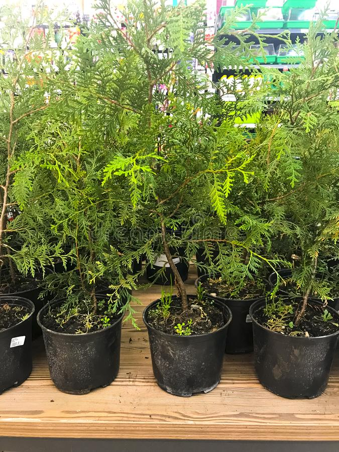 Coniferous young plants in pots for planting. royalty free stock images