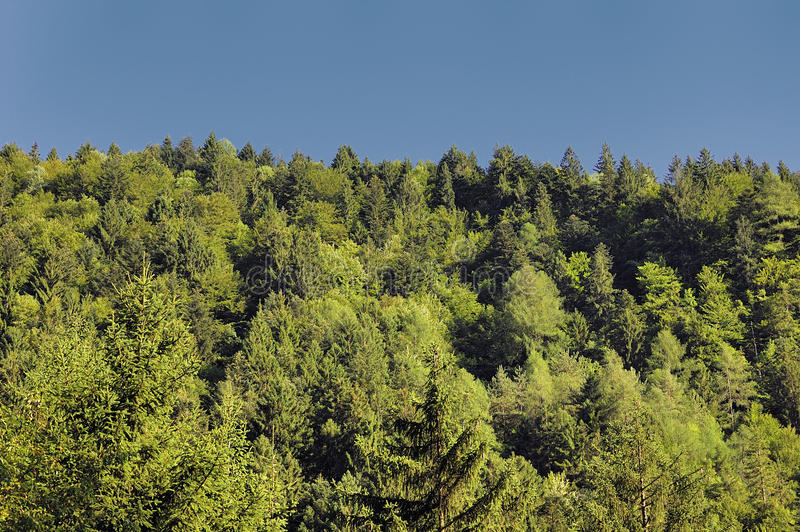 Conifers. Photographed on a stream of the mountain stock image