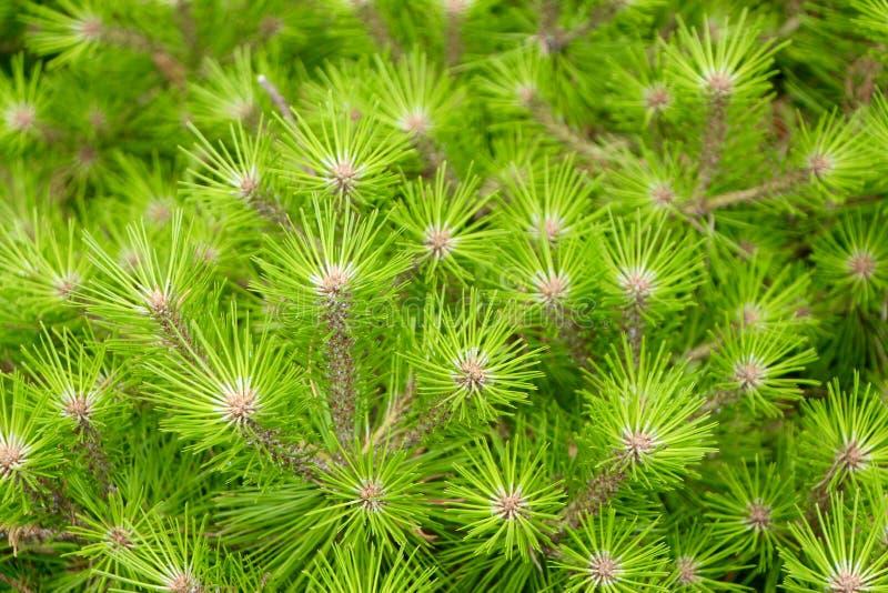 conifers obrazy stock