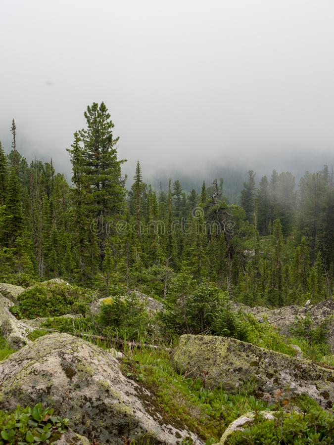 Conifers cedars and trees among the stones in the fog. Siberian taiga Western Sayan stock photography