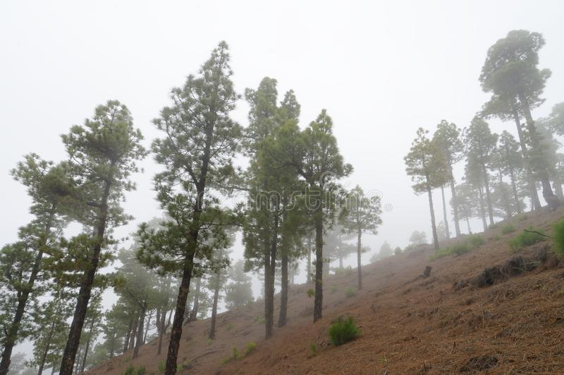 Conifers in the fog forest. Cloud forest with high conifers on a hillside, perspective view from below - Location: Spain, Canary Islands, La Palma royalty free stock image