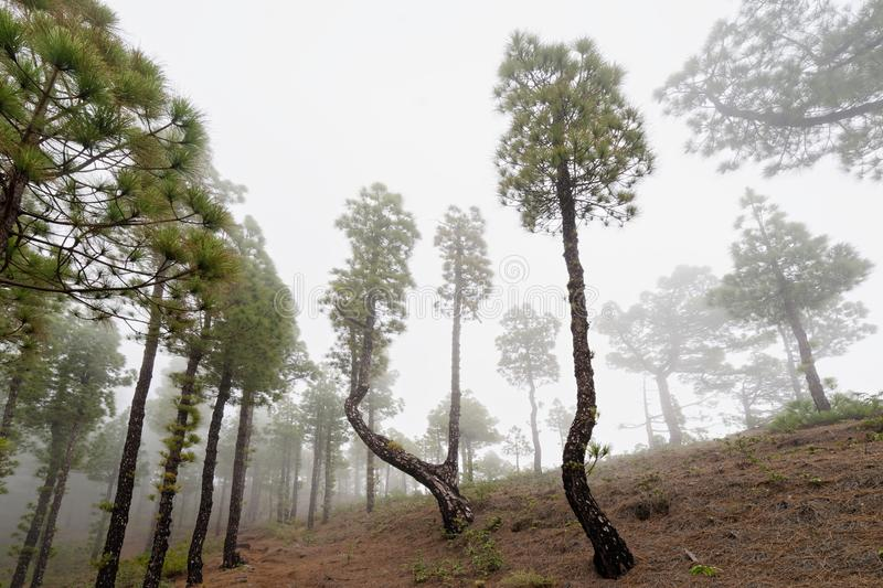 Conifers in the fog forest. Cloud forest with high conifers on a hillside, perspective view from below - Location: Spain, Canary Islands, La Palma stock photography