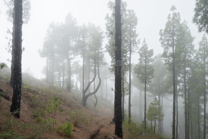 Conifers in the fog forest. Cloud forest with high conifers on a hillside, the view is led through a narrow hiking trail - Location: Spain, Canary Islands, La royalty free stock photo