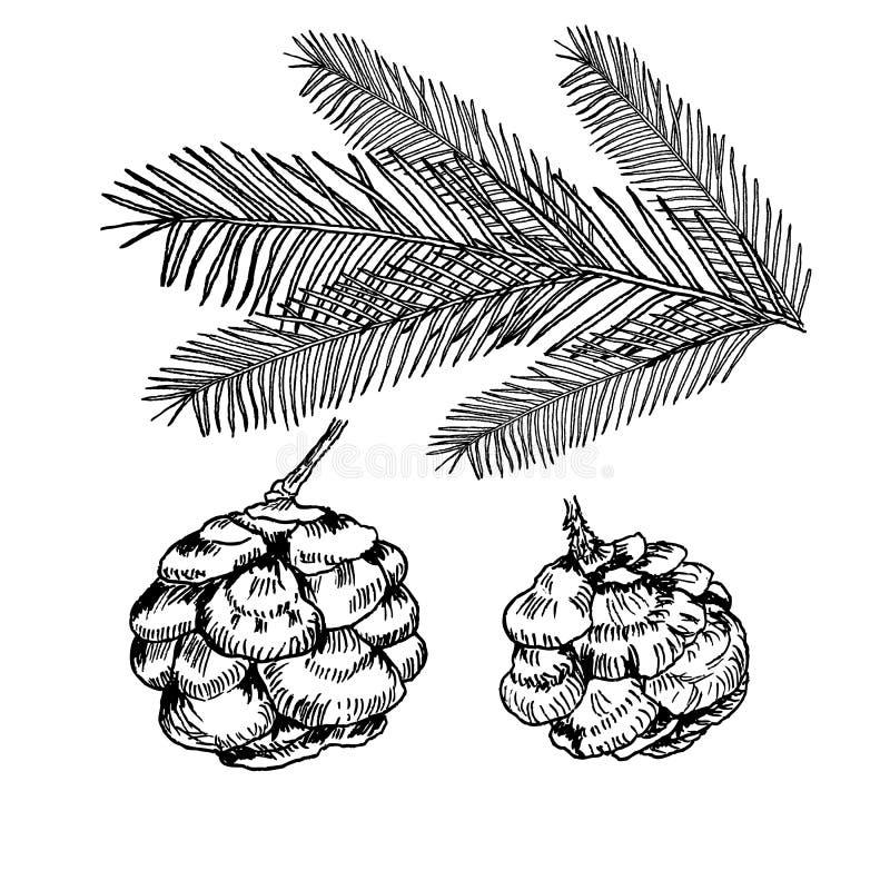 Conifers illustration on white. Evergreen plant sketch set - fir, pine cypress. Christmas decoration elements stock illustration