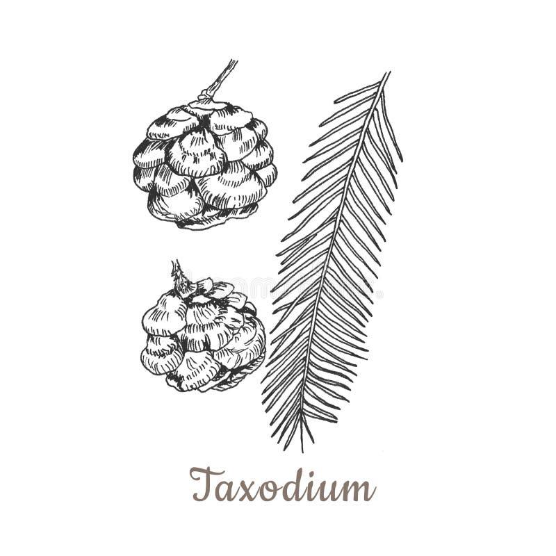 Conifers ilustracyjni na bielu Wiecznozielonej rośliny nakreślenie ustawia - jodłę, sosnowy cyprys z tekstem bożych narodzeń deko royalty ilustracja