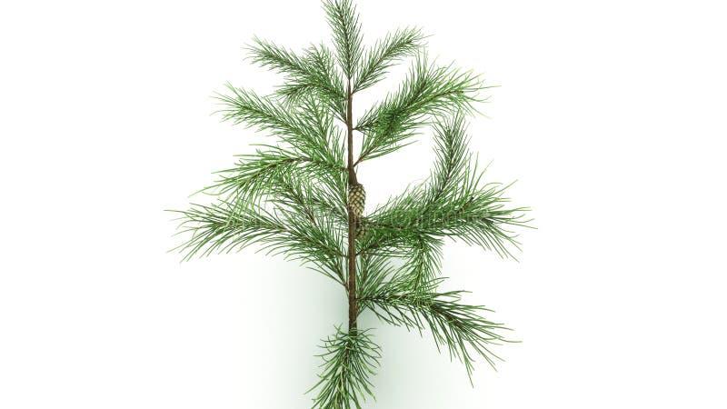 Conifer Leaf stock image