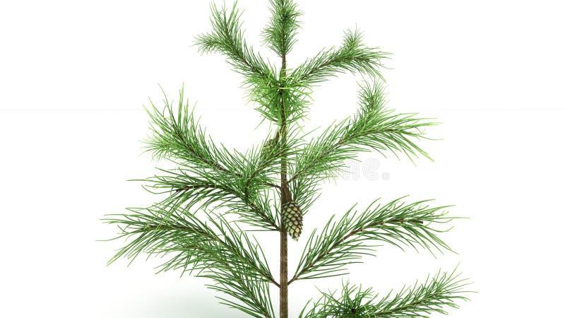 Conifer Leaf stock photography
