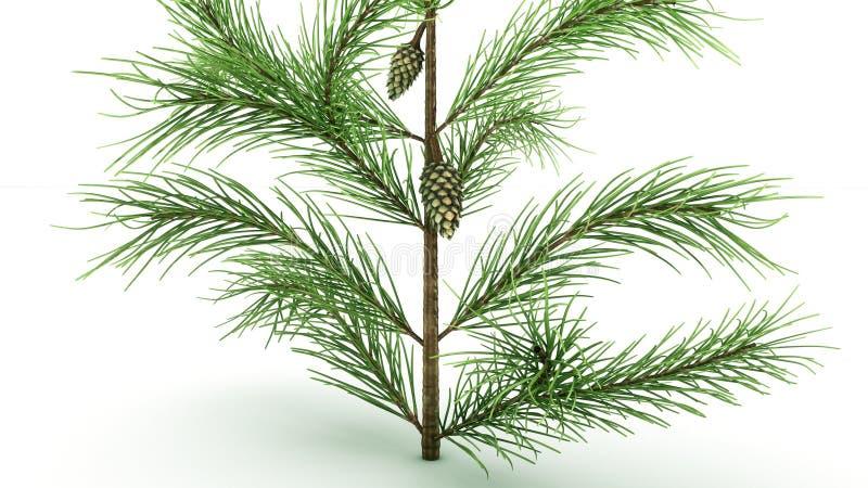Conifer Leaf royalty free stock images