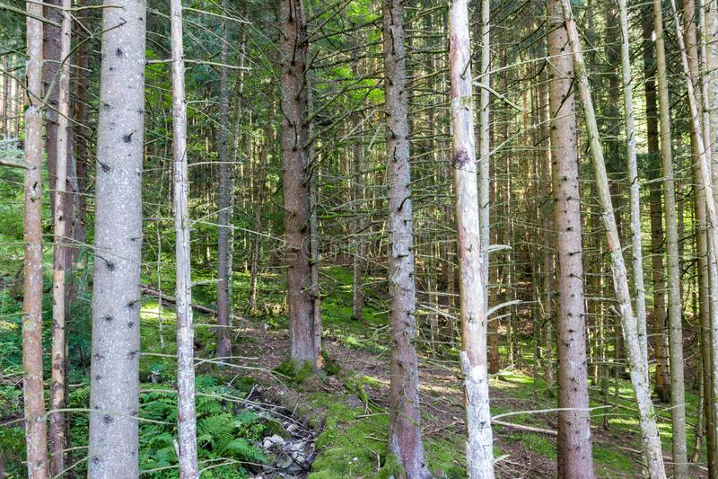 Conifers lasowi od Francuskich Alps obrazy stock