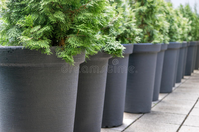 Conifers. Row with gray pots with conifers royalty free stock photos