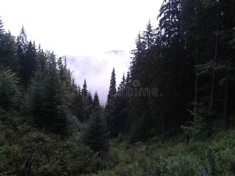 Coniferusbos in Roemenië stock foto