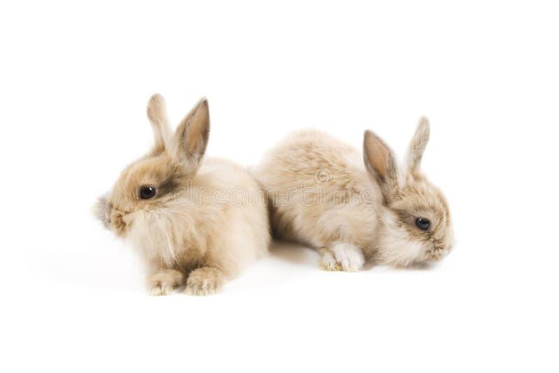 Conigli fotografia stock libera da diritti