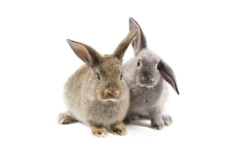Conigli fotografia stock