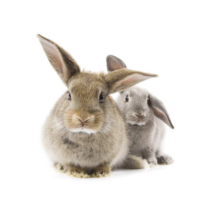 Conigli immagine stock libera da diritti