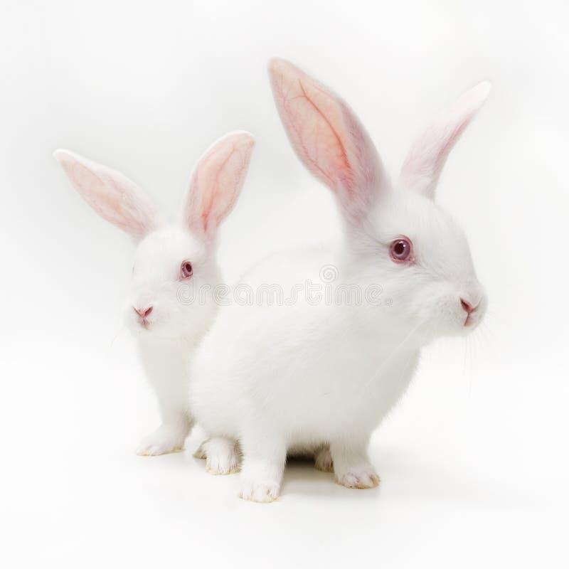 Conigli bianchi immagine stock