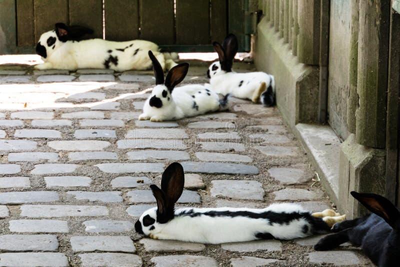 Conigli bianchi e neri stanchi all'aperto fotografie stock