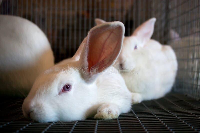 Conigli bianchi in una gabbia del collegare immagini stock libere da diritti