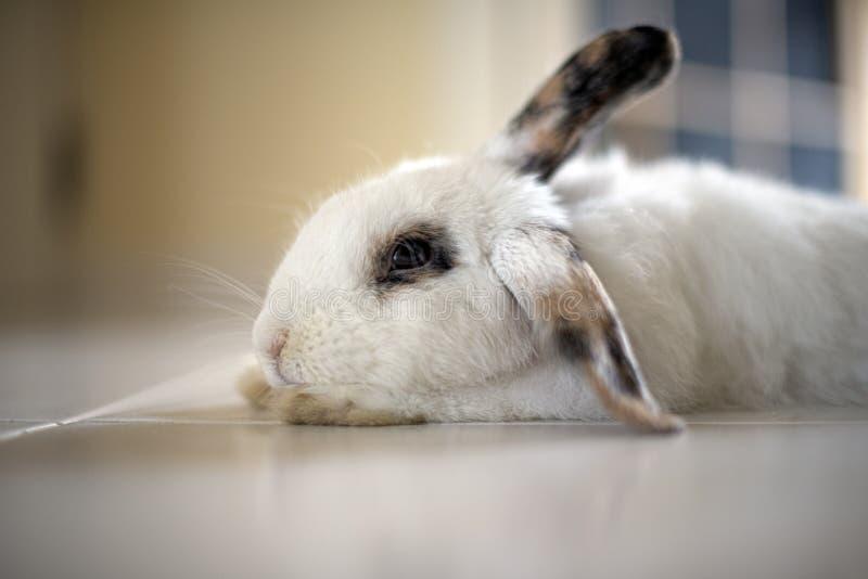 Conigli che si rilassano sul pavimento a casa immagini stock