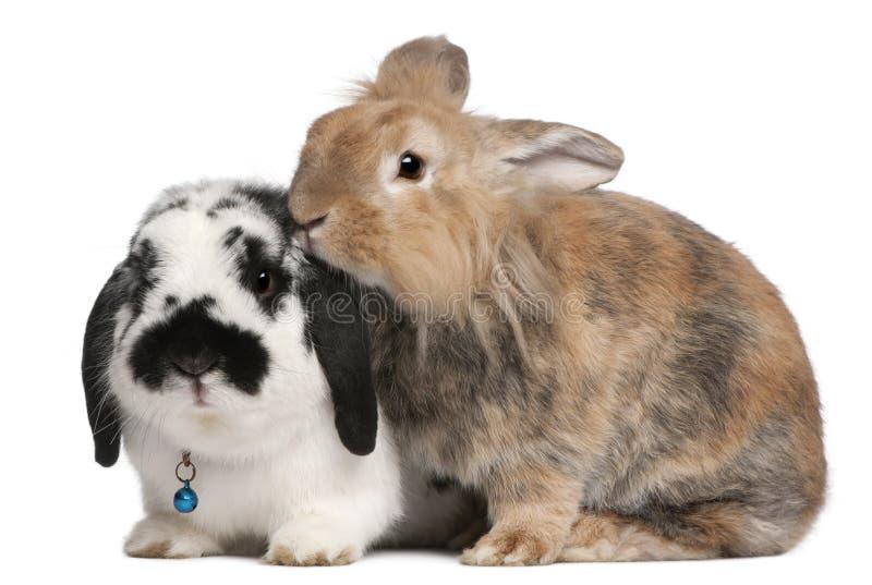 Conigli del mandriano di Lapponian, 3 anni fotografia stock libera da diritti