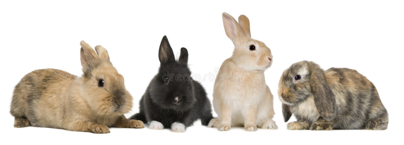 Conigli di coniglietto che si siedono davanti alla priorità bassa bianca immagine stock