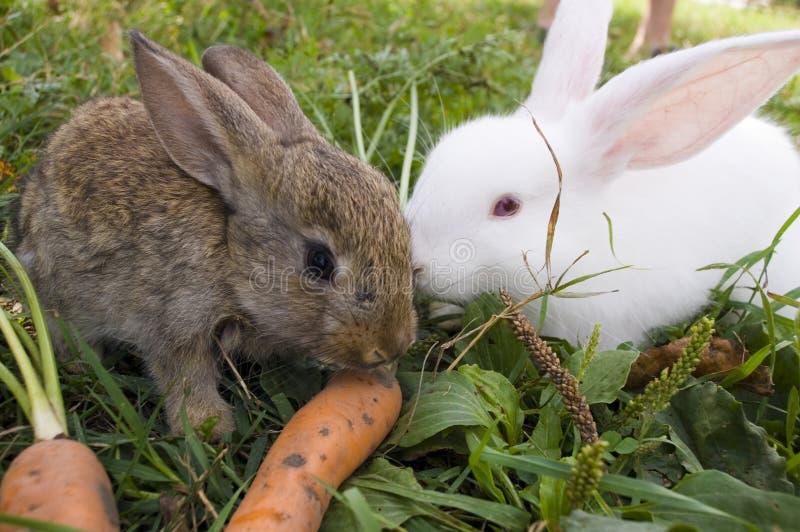 Conigli e carota fotografia stock