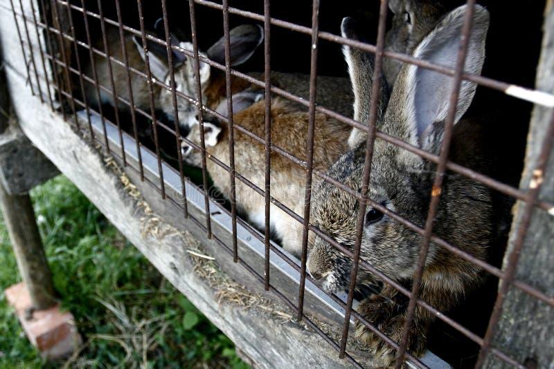 Conigli in gabbia immagine stock