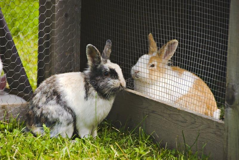 Conigli nell'amore   immagine stock
